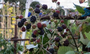 500wideblackberries